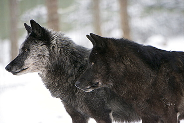 Two black melanistic variants of North American Timber wolf (Canis Lupus) in snow, Austria, Europe