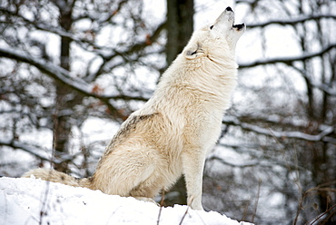 North American Timber wolf, Canis Lupus howling in the snow in deciduous forest.