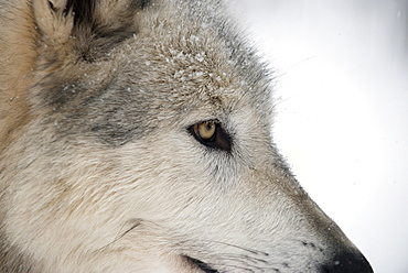 Close-up of face and snout of a North American Timber wolf (Canis lupus) in forest, Austria, Europe