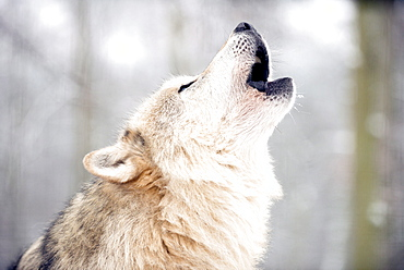 North American timber wolf (Canis Lupus) howling in the snow in forest, Wolf Science Centre, Ernstbrunn, Austria, Europe