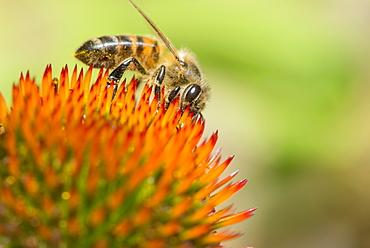 Honey bee (Apis mellifera) feeding on Echinacea sp. (cone flower) nectar, England, United Kingdom, Europe