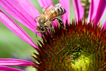 Honey bee, Apis mellifera feeding on Echinacea sp.,  or cone flower nectar. Honey bees are in trouble in many parts of the world but are doing well in urban areas where their exposure to pesticides, insecticides and fungicides is limited.  Photographed in  London, UK garden.
