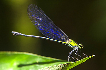 Damselfly with iridescent blue wings and iridescent green body settles on a leaf in sunlit clearing in the rainforest, Sabah, Borneo, Malaysia, Southeast Asia, Asia