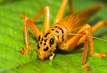 Orange and black bush cricket (Tettigoniidae), Maliau Basin, Sabah, Borneo, Malaysia, Southeast Asia, Asia