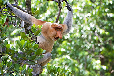 Dominant male proboscis monkey (Nasalis larvatus) on the lookout for challenges from younger males in the bachelor group, Labuk Bay Proboscis Monkey Sanctuary, Sabah, Borneo, Malaysia, Southeast Asia, Asia