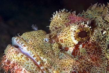 Stonefish (Synanceia verrucosa) is extremely venomous, Celebes Sea, Sabah, Malaysia, Southeast Asia, Asia