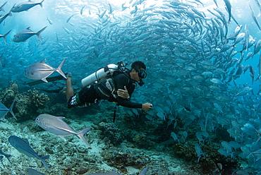 Diver swimming underwater with Bigeye trevally (Caranx sexfasciatus) (jacks) at Sipadan Island, Celebes Sea, Sabah, Malaysia, Southeast Asia, Asia