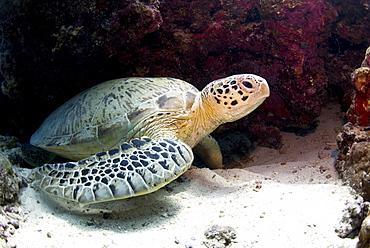 Green sea turtles (Chelonia mydas) common at Pom Pom Island, Celebes Sea, Sabah, Malaysia, Southeast Asia, Asia