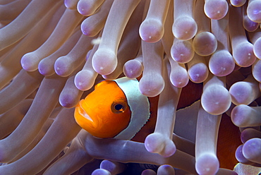 False clown anenomefish (Amphiprion ocellaris) in the tentacles of its host anemone, Celebes Sea, Sabah, Malaysia, Southeast Asia, Asia