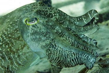 Broadclub cuttlefish (Sepia Latimanus) largest of tropical into Pacific cuttlefish, Celebes Sea, Sabah, Malaysia, Southeast Asia, Asia