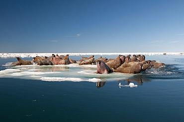Walrus (Odobenus rosmarus) hauled out on pack ice to rest and sunbathe, Foxe Basin, Nunavut, Canada, North America