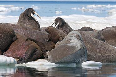 Walrus (Odobenus rosmarinus) females with baby hauled out on pack ice to rest and sunbathe, Foxe Basin, Nunavut, Canada, North America