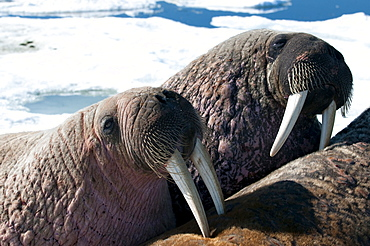 Two walrus (Odobenus rosmarinus,) close-up of face, tusks, and vibrissae (whiskers), hauled out on pack ice to rest and sunbathe, Foxe Basin, Nunavut, Canada, North America