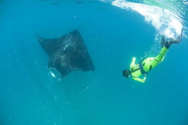 Scientist free diving to make a photo identification of an individual manta ray (Manta birostris), Yum Balam Marine Protected Area, Quintana Roo, Mexico, North America