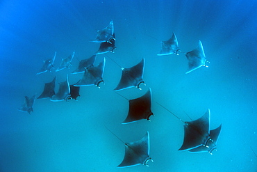 Eagle rays (Mobula hypostoma) common in this area and often seen feeding on zooplankton in large groups, Yum Balam Marine Protected Area, Quintana Roo, Mexico, North America