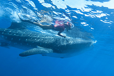 Snorkeller and whale shark (Rhincodon typus) feeding at the surface on zooplankton, mouth open, known as ram feeding, Yum Balam Marine Reserve, Quintana Roo, Mexico, North America