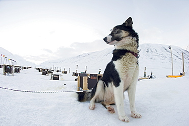Husky dog sled operation, where each dog has its own kennel raised off the ground, Bolterdalen, Svalbard, Arctic, Norway, Scandinavia, Europe