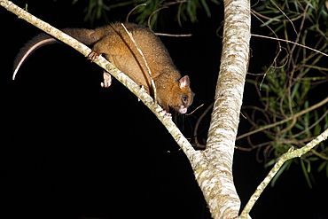 Coppery brushtail possum (Trichosurus vulpecula johnstonii), arboreal nocturnal rainforest possum endemic to Atherton Tablelands, Queensland, Australia, Pacific