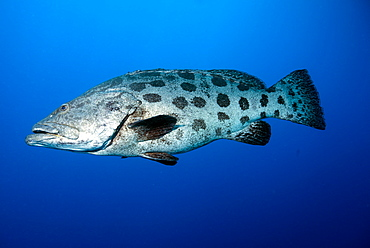 Potato cod (Epinephelus tukula) (potato grouper) (potato bass), Cod Hole, North Ribbon reef, Great Barrier Reef, Queensland, Australia, Pacific