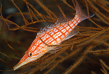 Longnose hawkfish (Oxycirrhites typus), usually found in the branches of gorgonian sea fans and black coral, Queensland, Australia, Pacific