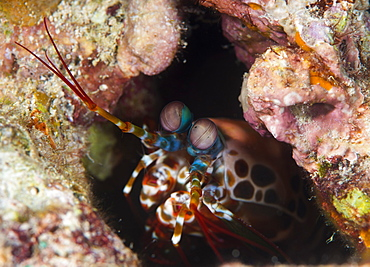 Mantis shrimp (Gonodactylus sp.), a hole dwelling crustacean, Queensland, Australia, Pacific