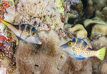 Mating display by pair of Wire-net filefish (Cantherhines paradalis), Queensland, Australia, Pacific