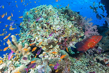 Colourful reef fish (Orange and purple anthias sp.) plus Leopard Coral grouper (Plectropomus leopardus) with hard and soft corals on reef, Queensland, Australia, Pacific