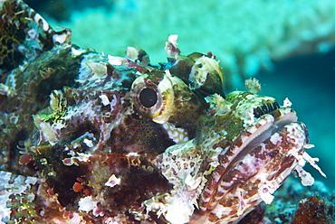 Tassled scorpionfish (smallscale scorpionfish) (Scorpaenopsis oxycephala), has an array of venomous spines, Matangi Island, Vanua Levu, Fiji, Pacific