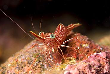 Hinge beak shrimp (Hinge beak prawn) (Rhynchocinetes sp.) emerges to feed at night, Matangi Island, Vanua Levu, Fiji, Pacific