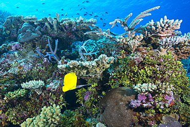 Colourful healthy hard and soft coral reef with long nosed butterflyfish (Forcipiger flavissimus), Matangi Island, Vanua Levu, Fiji, Pacific