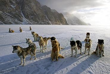 Greenlandic husky dog team staked to the ice near the floe edge in midnight sun, Greenland, Denmark, Polar Regions