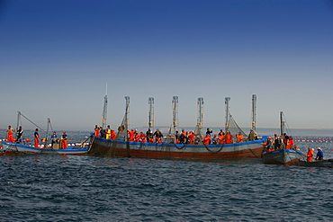 Almadraba Atlantic bluefin tuna fishery consists of a maze of nets, the final net (copo) is winched to the surface by hand, Andalucia, Spain, Europe - 465-3421