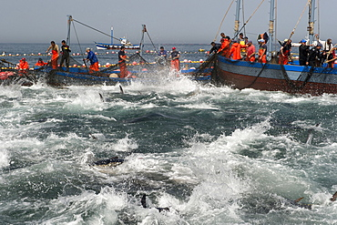 Almadraba Atlantic bluefin tuna fishery is a maze of nets from which the tuna cannot escape as they always swim east to spawn, Andalucia, Spain, Europe