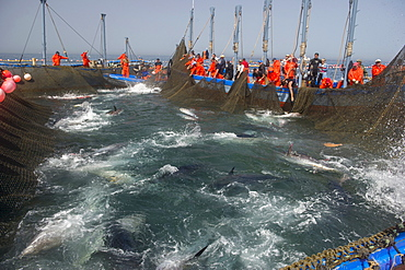 Almadraba Atlantic bluefin tuna fishery consists of a maze of nets, the final net (copo) is winched to the surface by hand, Andalucia, Spain, Europe