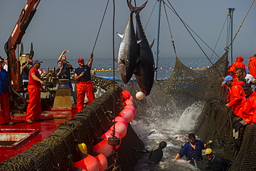 Atlantic Bluefin tuna caught by the Almadraba maze net system, fish are lifted via ropes on their tail fins and placed on ice, Andalucia, Spain, Europe
