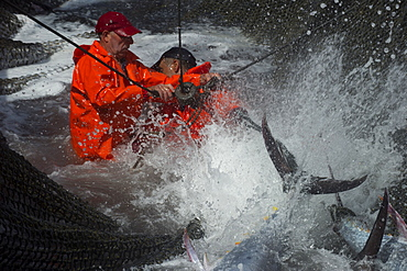 Fishermen in nets at the Almadraba tuna fishery rope the Bluefin tuna by the tail before being hoisted into the hold, Andalucia, Spain, Europe