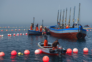 Almadraba trapping of migrating Atlantic Bluefin tuna (Thunnus thynnus) dating back to Phoenician times in Andalucia, Spain, Europe