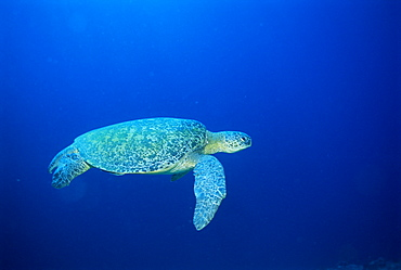 Green Turtle swimming, Chelonia mydas, underwater off Sabah, Malaysia, Asia