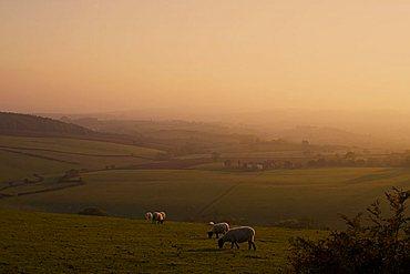 Sheep at sunset, near Sidmouth, Devon, England, United Kingdom, Europe