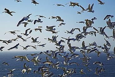 Herring gulls, England, United Kingdom, Europe