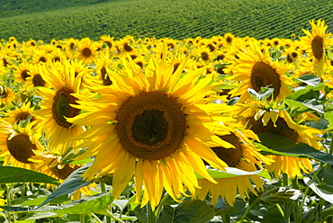 Sunflowers with vines in distance, Charente, France, Europe
