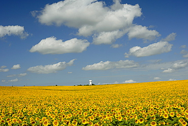 Field of sunflowers with water tower in distance, Charente, France, Europe