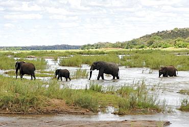 Elephants in Oliphants River, Kruger National Park, South Africa, Africa