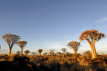 Quiver tree forest, Keetmanshoop, Namibia, Africa