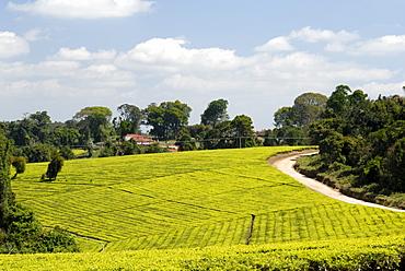 Tea plantation, Mufindi, Tanzania, East Africa, Africa