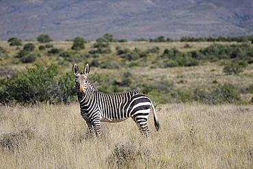 Rare mountain zebra in the early morning in the Karoo National Park, South Africa, Africa