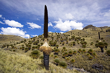 Puya raimondii tree (the Queen of the Andes tree), after seeding, Peru, South America
