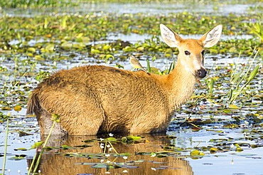 Rare pampas deer grazing in swamp, Ibera National Park, Argentina, South America