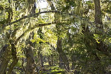 Fairytale forest, Tierra del Fuego, Argentina, South America