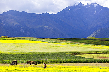 Cultivated fields and cattle, Moho, bordering on Lake Titicaca, Peru, South America